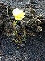 Starr 011114-0051 Oenothera stricta subsp. stricta.jpg