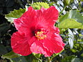 Starr 030415-0029 Hibiscus rosa-sinensis.jpg