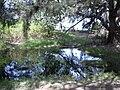 Starr 040121-0024 Casuarina equisetifolia.jpg