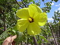 Starr 040318-0046 Hibiscus brackenridgei subsp. brackenridgei.jpg