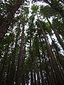 Starr 041221-1944 Sequoia sempervirens.jpg