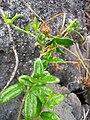 Starr 050423-6675 Alyxia oliviformis.jpg