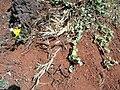 Starr 050516-1279 Panicum torridum.jpg