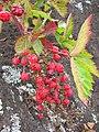 Starr 050815-7395 Rubus argutus.jpg