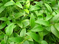 Starr 051122-5386 Asparagus asparagoides.jpg