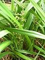 Starr 060221-6054 Dianella sandwicensis.jpg