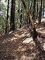 Starr 061225-2967 Eucalyptus sp..jpg