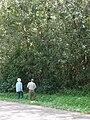 Starr 070328-6181 Syzygium jambos.jpg