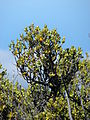 Starr 070822-8110 Coprosma montana.jpg