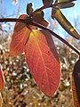 Starr 071225-0697 Lonicera japonica.jpg