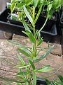 Starr 080117-2173 Artemisia dracunculus.jpg