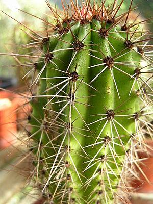 Stenocereus thurberi - Image: Stenocereus thurberi