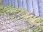 File:Stoat visiting KWS fence.ogv