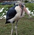 Stork (3263328225).jpg
