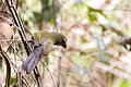 Streaked Saltator - Lechosero Pechirrayado (Saltator striatipectus) (14049209581).jpg