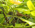 Striped Tit-Babbler (Macronous gularis).jpg