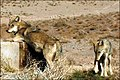 Studying lupine wildlife in Iran 2.jpg