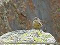 Sulphur-bellied Warbler (Phylloscopus griseolus) (31316935593).jpg