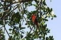 Summer tanager (40896662084).jpg