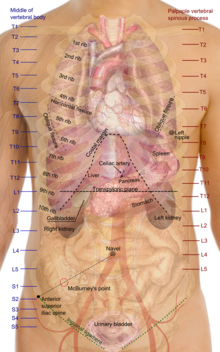 Torso wikipedia surface projections of major organs of the torso using the vertebral column and rib cage as main reference sources ccuart Choice Image