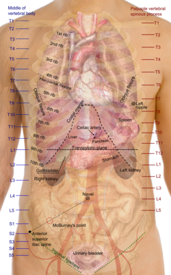 Thorax wikipedia surface projections of the organs of the trunkg ccuart Choice Image
