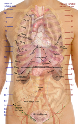 Surface anatomy - Surface projections of the major organs of the trunk, using the vertebral column and rib cage as main reference points of surface anatomy.