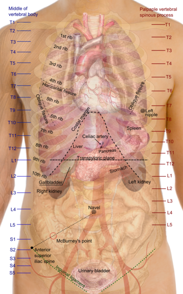 Filesurface Projections Of The Organs Of The Trunkg Wikimedia