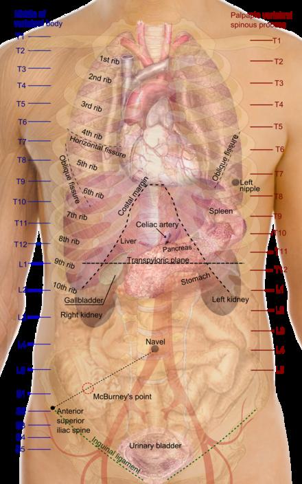 Anatomía de superficie - Wikiwand