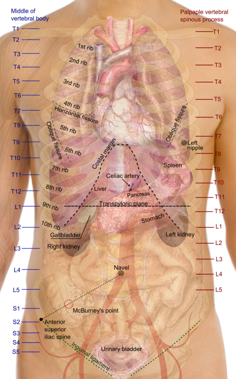 Dateisurface Projections Of The Organs Of The Trunkg Wikipedia