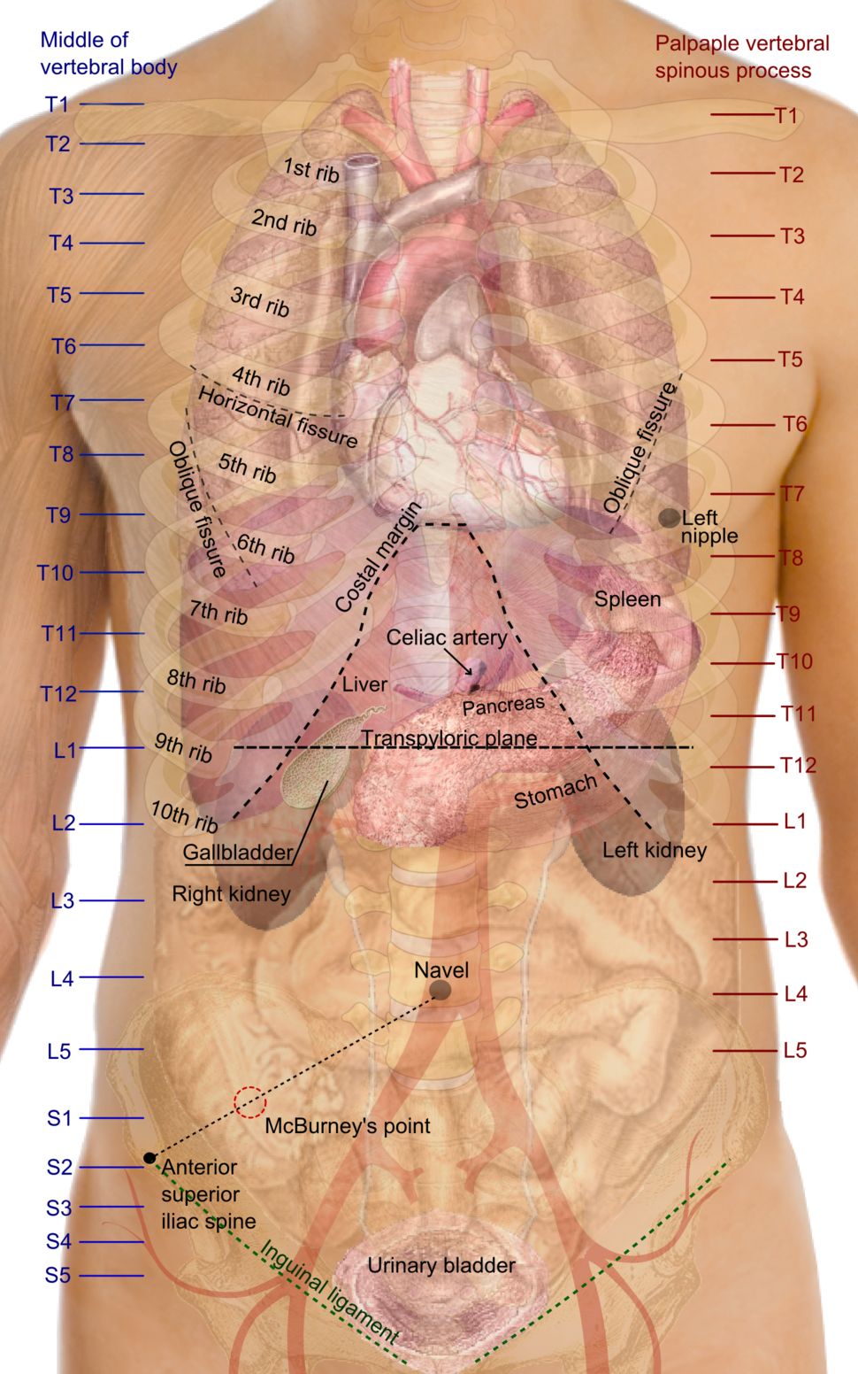 Surface projections of the organs of the trunk