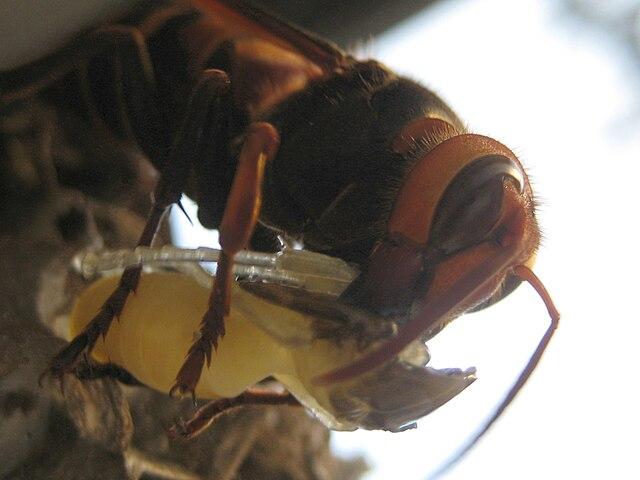 640px Suzumebachi スズメバチ。日本発、世界でも稀に見る危険生物!