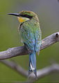 Swallow-tailed bee-eater, Merops hirundineus, at Marakele National Park, Limpopo, South Africa (23827154399).jpg