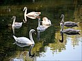 Swan dance (37396686651).jpg