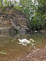 Swan on Prokop lake 3.jpg