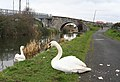 Swans and the Royal Canal - geograph.org.uk - 1202209.jpg