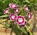 Sweet William-Dianthus barbatus (7).JPG
