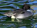 Swimming-duck.jpg