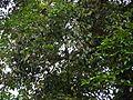 Syzygium ¿ species ? (5595846380).jpg