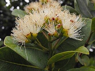 Syzygium cordatum - Image: Syzygiumcordatum 2