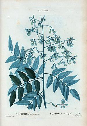 T3 21 Sophora japonica par Pierre-Joseph Redouté.jpeg