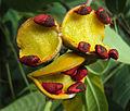 Tabernaemontana alternifolia 19.JPG