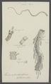 Taenia infundibuliformis - - Print - Iconographia Zoologica - Special Collections University of Amsterdam - UBAINV0274 105 19 0029.tif