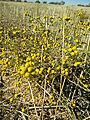 Tanacetum microphyllum.jpg