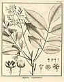 Tapirira guianensis Aublet 1775 pl 188.jpg
