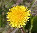 Taraxacum ruderalia flower in Sweden.jpg