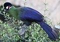 Tauraco hartlaubi -Montecasino Bird Gardens, Montecasino, Fourways, Johannesburg, South Africa-8a.jpg