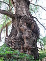 Taxodium mucronatum trunc 01 by Line1.jpg