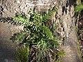 Taxus baccata 121144362.jpg