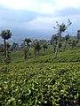 Tea estate Haputale.jpg