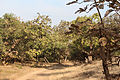 Teak trees in Gir Forest National Park.jpg